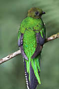 Exotic Bird Prints - Female Resplendent Quetzal - dp Print by Heiko Koehrer-Wagner