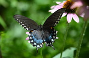 Flutter Art - Female Spicebush Swallowtail by Kathy Gibbons
