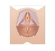 Urethra Framed Prints - Female Urogenital Muscles Framed Print by Peter Gardiner