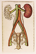 Genitalia Framed Prints - Female Urogenital System Framed Print by Mehau Kulyk