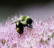 Signed Digital Art Posters - Female Worker Bumble Bee with Pollen Sack on Hen and Chick Plant Poster by Suzanne  McClain