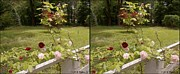 Stereoscopy Photos - Fence Full of Roses - Cross your eyes and focus on the middle image by Brian Wallace