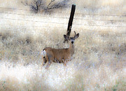 Blending Photos - Fence Line Buck by Steve McKinzie