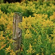 Goldenrod Flower Framed Prints - Fence Post7139 Framed Print by Michael Peychich