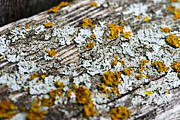 Lichen Photo Framed Prints - Fence Rail Lichen Framed Print by David Waldo