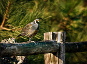 Quail Photos - Fence Rider by Robert Bales