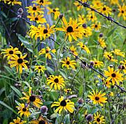 Black-eyed Susan Prints - Fence Row Flowers Print by Pete Hellmann