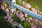 Wooden Home Framed Prints - Fence with pink roses Framed Print by Elena Elisseeva
