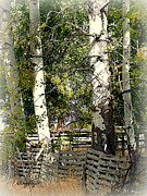 Fenced Aspen Print by Cindy Wright