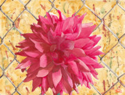 Dahlia Posters - Fenced Poster by Ken Powers