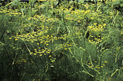Aniseed Posters - Fennel (foeniculum Vulgare) Poster by Adrian Thomas