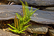 Susan Leggett Prints - Fern and Rocks Print by Susan Leggett