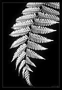 Black Framed Prints - Fern Dance Framed Print by Holly Kempe