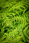  Backdrop Acrylic Prints - Fern Acrylic Print by Elena Elisseeva