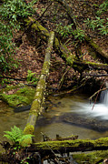 Trout Photo Posters - Fern Fallen Logs Mountain Stream Poster by Thomas R Fletcher