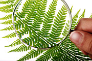 Frond Prints - Fern Frond Morphology Print by Mauro Fermariello