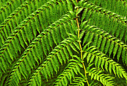 Bog Prints - Fern Fronds Print by Carlos Caetano