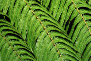 Gaspar Avila Framed Prints - Fern leaves Framed Print by Gaspar Avila