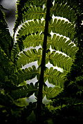 Feathery Framed Prints - Fern Framed Print by Odd Jeppesen