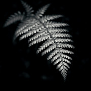 Frond Posters - Fern On Black Background Poster by Sue Hammond