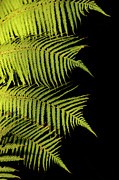 Humpback Posters - Fern Palm Poster by Bob Christopher