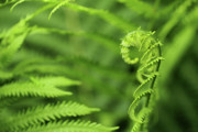 Grow Digital Art - Fern plant growing macro  by Adam Long