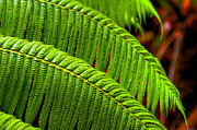 Fern Framed Prints - Fern Framed Print by Ryan Wyckoff