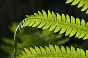 Steve Augustin Metal Prints - Fern Metal Print by Steve Augustin