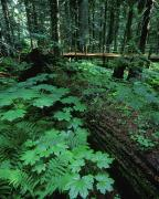 Dappled Light Photos - Ferns And Bushes On Forest Floor by Don Hammond