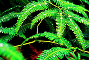 Puerto Rico Art - Ferns and Raindrops by Thomas R Fletcher