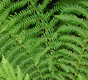 Fern Originals - Ferns Au Naturale by Suzanne Gaff