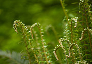 Painterly Photos - Ferns Fiddleheads by Mike Reid