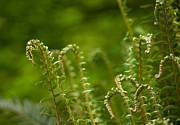 Ferns Fiddleheads Print by Mike Reid