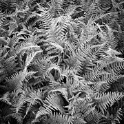 Maine Metal Prints - Ferns In Black And White Metal Print by Daniel J. Grenier