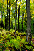 Fall Cards Prints - Ferns in the Forest - West Virginia Print by Dan Carmichael