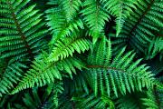 Green Foliage Photo Prints - Ferns Print by June Marie Sobrito