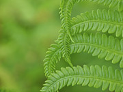 Ostrich Fern Prints - Ferns Take a Bow Print by Cheryl Butler