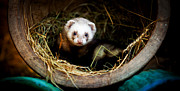 Simon Bratt Photography Prints - Ferret home in flower pot  Print by Simon Bratt Photography