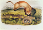 Naturalist Painting Prints - Ferret Print by John James Audubon