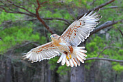 Bird Of Prey Originals - Ferriginious Hawk in Flight by Alan Lenk