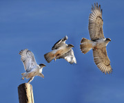 Three Animals Posters - Ferruginous Hawk In Flight Poster by Utah-based Photographer Ryan Houston
