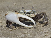 Fiddler Crab Framed Prints - Fiddle Me This Framed Print by Ginger Wemett