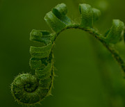 Fern Originals - Fiddlehead 1 by Maria Suhr