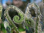 Spiral - Fiddlehead Ferns by Juergen Roth