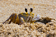 Fiddler Prints - Fiddler Crab Print by David Hahn
