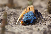 Kosrae Island Prints - Fiddler Crabs In A Sandy Tidal Flat Print by Tim Laman