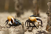 Kosrae Island Prints - Fiddler Crabs Living In The Roots Print by Tim Laman