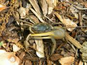 Fiddler Crab Prints - Fiddler on the Ground Print by JoAnn Wheeler