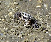 Fiddler Crab Prints - Fiddling Around Print by Kenneth Albin