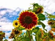Sunflower Photograph Posters - Field Day Poster by Gwyn Newcombe